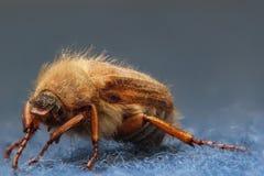 евроец июнь жука Стоковые Изображения RF