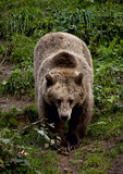 евроец медведя коричневый Стоковая Фотография