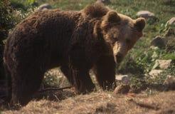 евроец медведя коричневый Стоковая Фотография RF