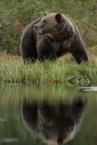 евроец медведя коричневый стоковые изображения rf