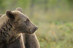 евроец медведя коричневый стоковое изображение