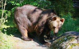 евроец медведя коричневый Стоковое фото RF