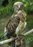 евроец buzzard Стоковая Фотография RF