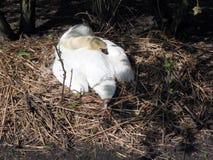 Европа, Бельгия, западная Фландрия, Брюгге, белый лебедь спать в уютном гнезде стоковые фотографии rf