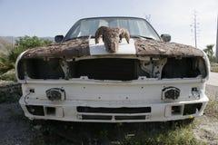 Европеец крысы горячий с черепом козы ржавым Стоковые Фотографии RF