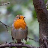 Европеец Робин птицы Стоковая Фотография RF