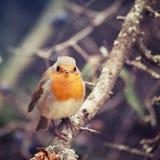 Европеец Робин птицы Стоковое фото RF