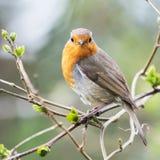 Европеец Робин, rubecula Erithacus, Робин, птицы Стоковая Фотография RF