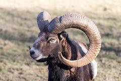 Европеец Mouflon с рожками Стоковые Изображения