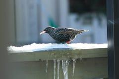 Европеец Starling в зиме Стоковая Фотография RF