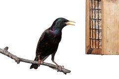 Европеец Starling Стоковые Фотографии RF