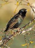 Европеец Starling - Sturnus vulgaris Стоковая Фотография RF