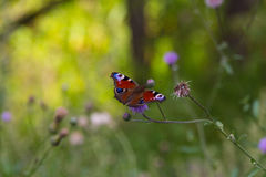 Европейская бабочка павлина на луге лета Стоковые Фотографии RF