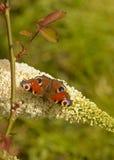 Европейская бабочка павлина Стоковые Фотографии RF