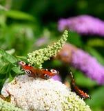 Европейская бабочка павлина Стоковые Изображения RF