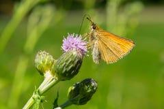 Европейская бабочка шкипера - lineola Thymelicus Стоковые Изображения
