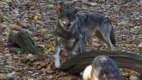 Европейская волчанка волчанки волка серых волков бежит в лесе видеоматериал