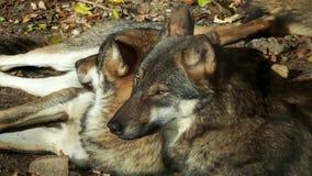 Европейская волчанка волчанки волка серых волков акции видеоматериалы