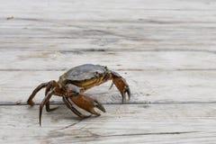 Европейская выпущенная рыбная ловля краба берега Стоковые Изображения