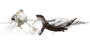 Европейская выдра плавая к европейской чайке сельдей gooing прочь Стоковые Изображения