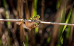 Европейская древесная лягушка малая древесная лягушка найденная в Европе, Азии и части Африки Стоковые Изображения RF