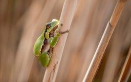 Европейская древесная лягушка малая древесная лягушка найденная в Европе, Азии и части Африки Стоковые Фото