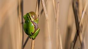 Европейская древесная лягушка малая древесная лягушка найденная в Европе, Азии и части Африки Стоковое фото RF