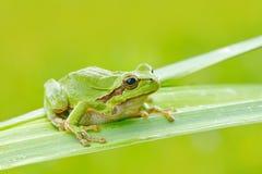 Европейская древесная лягушка, arborea Hyla, сидя на соломе травы с ясной зеленой предпосылкой Славная зеленая лодкамиамфибия в с Стоковое Изображение