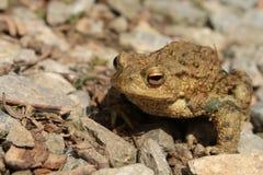 европейская жаба Стоковое Изображение