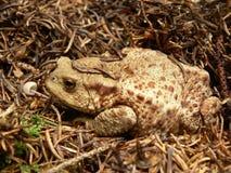 европейская жаба Стоковое Изображение RF