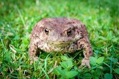 европейская жаба Стоковые Изображения RF