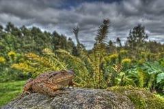 Европейская жаба, bufo Bufo в HDR Стоковая Фотография