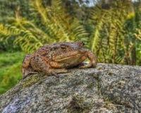 Европейская жаба, bufo Bufo в HDR Стоковое Изображение RF
