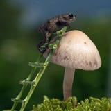 Европейская жаба, bufo Bufo младенец 15 mm на губке Стоковая Фотография RF