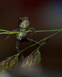 Европейская жаба, bufo Bufo младенец 15 mm Стоковые Изображения