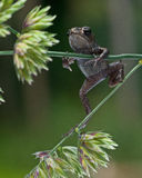 Европейская жаба, bufo Bufo младенец 15 mm Стоковое Фото