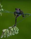 Европейская жаба, bufo Bufo младенец 15 mm Стоковая Фотография
