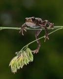 Европейская жаба, bufo Bufo младенец 15 mm Стоковые Фотографии RF