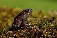 Европейская жаба, bufo Bufo младенец 15 mm Стоковое фото RF