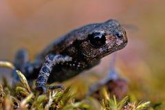 Европейская жаба, bufo Bufo младенец 15 mm Стоковые Фото
