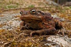 Европейская жаба, bufo Bufo Стоковая Фотография