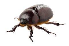 Европейская женщина жука rhinoceros Стоковое Изображение