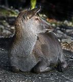 Европейская женщина красных оленей Стоковая Фотография RF