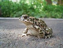 европейская зеленая жаба Стоковые Фото