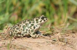 европейская зеленая жаба Стоковые Изображения RF