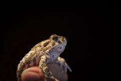 Европейская зеленая жаба - viridis Bufo внутри укомплектовывают личным составом руку, черную предпосылку Стоковые Изображения RF