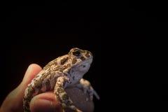 Европейская зеленая жаба - viridis Bufo внутри укомплектовывают личным составом руку, черную предпосылку Стоковая Фотография RF