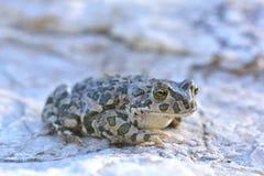 Европейская зеленая жаба (viridis Bufo) Стоковое Изображение