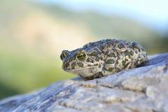 Европейская зеленая жаба (viridis Bufo) Стоковые Фото