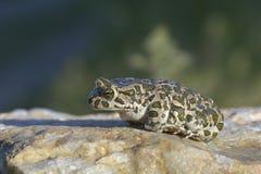 Европейская зеленая жаба (viridis Bufo) Стоковые Фотографии RF